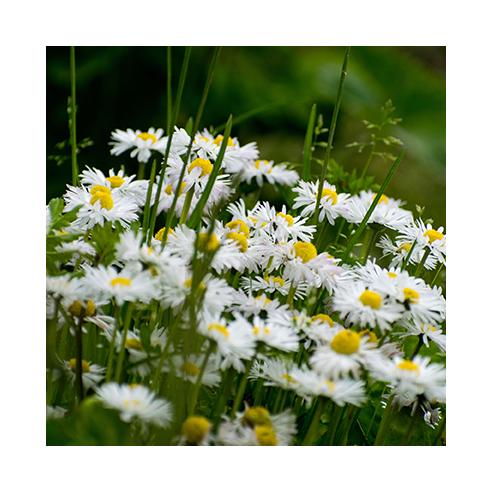 Gänseblümchen 50 gr