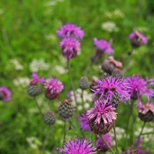 Wiesenflockenblume 50 gr