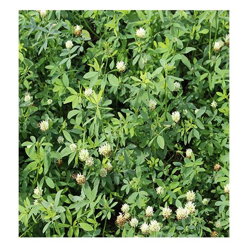 trifolium_alexandrinum.jpg